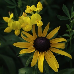 Black Eye Susan1