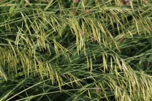 Brohme Grass1