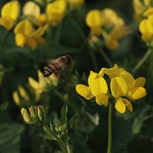 Honey Bee and Trefoil1