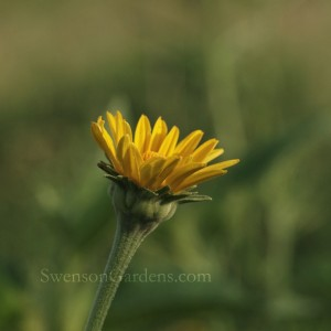 Smooth Oxeye Bud1