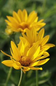 Smooth Oxeye1
