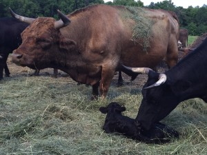 New Calf on farm