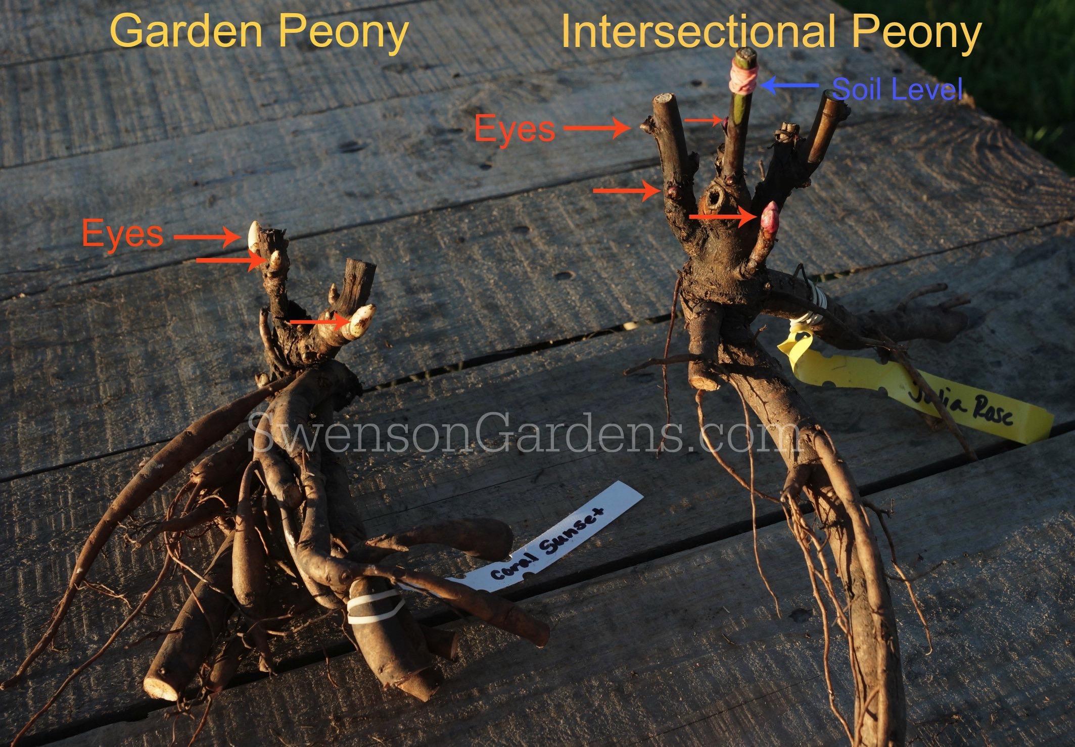 Bare Root Peonies Swenson Gardens