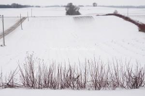 2016 Peony Snow Field-1