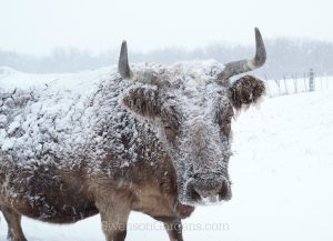 snowcoveredcowwm