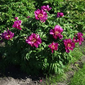 Morning Lilac-1