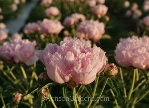 Rose Pearl Row in SunsetWM